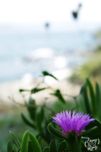 fleur_sentierlittoral
