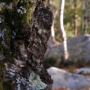 arbre_barbizon