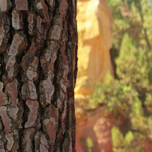 arbre_roussillon