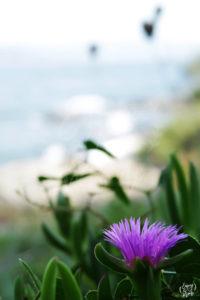 fleur_sentier_littoral